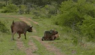 cow fight against a tiger