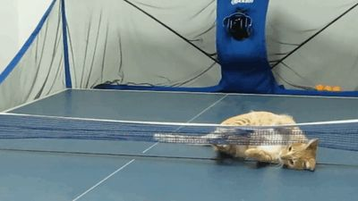 play ping pong cat